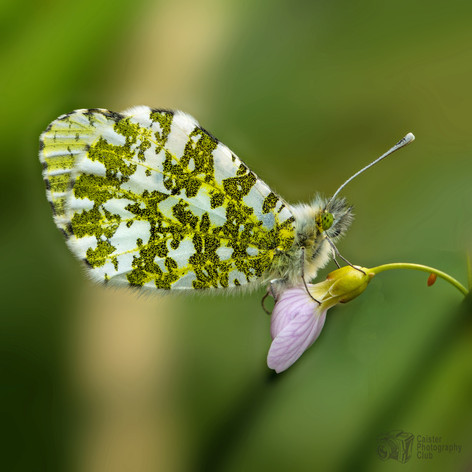 Orange tip butterfly with egg