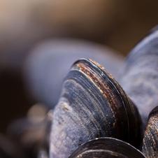Dromana Mussels