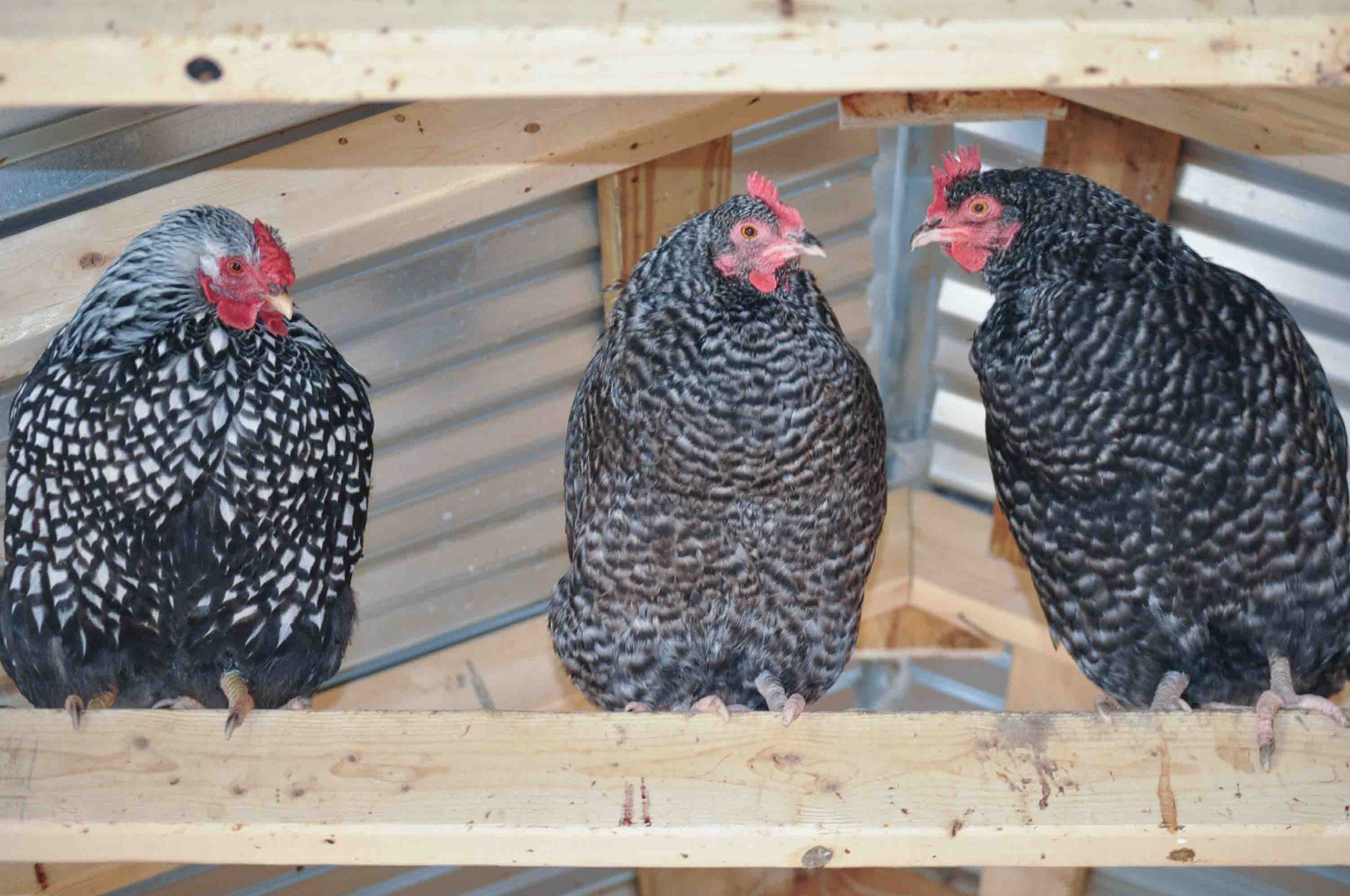 O Brien Farm Silver Laced Wyandotte And Cuckoo Maran Hens