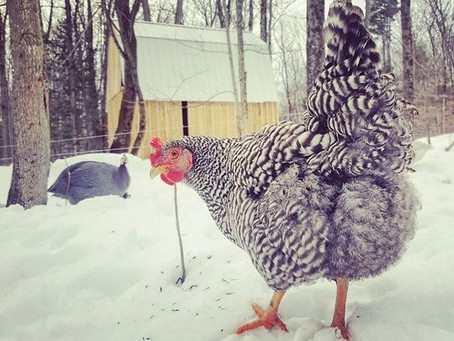 Chickens, Goats, and Geese, OH MY!