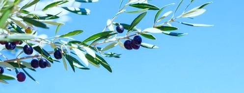 olive tree purchased istock_edited_edite