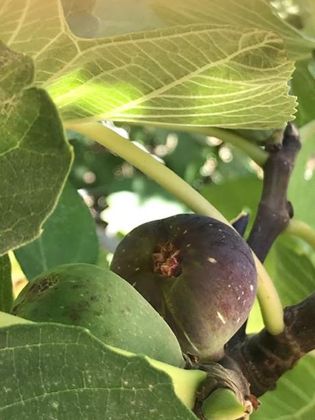 figs valencia.jpg