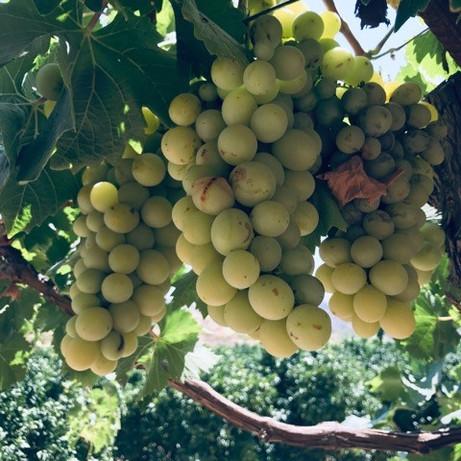 grapes up close.jpg
