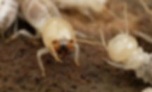 Termite Csiro Photo.JPG