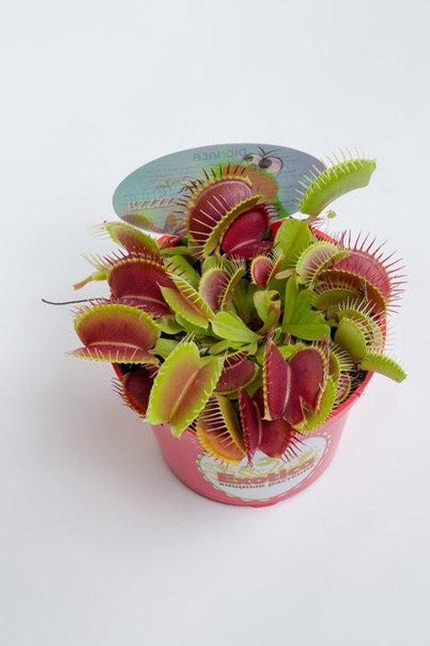 Венерина мухоловка max (лат. Dionaea muscipula)