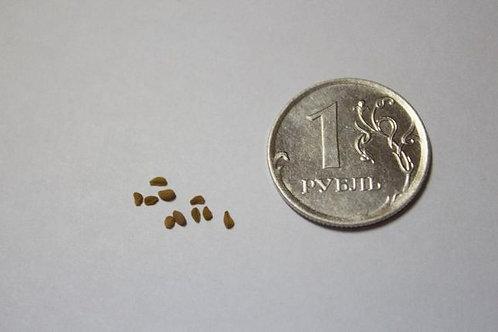 Семена Саррацении mix (10 шт.)