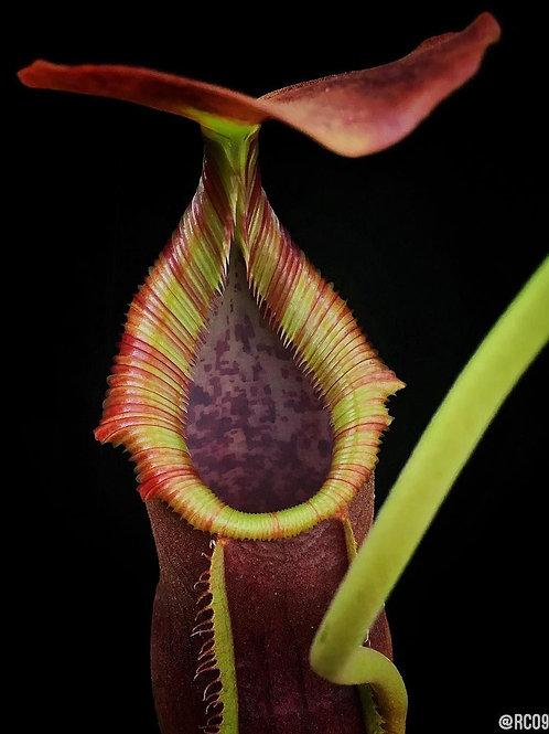 Непентес Вентрата (Nepenthes Ventrata)