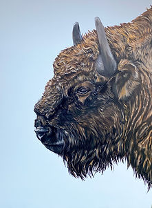 Close up of Bison
