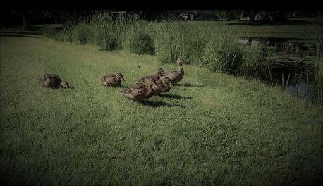 Duck friends at Eden Village