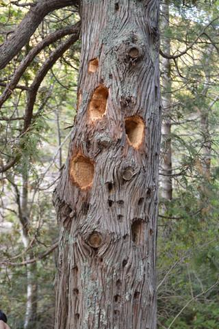 Wood Pecker work in Acadia