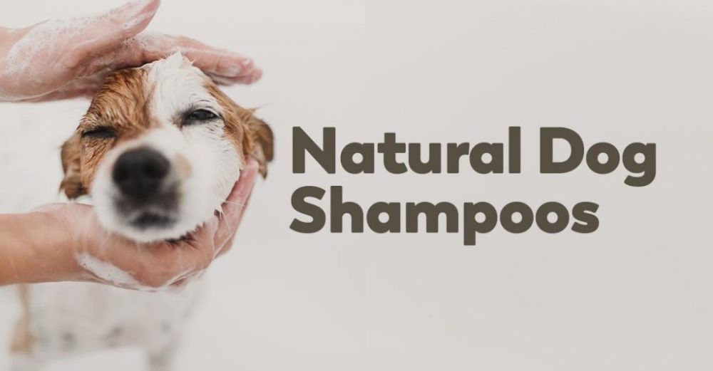 Learn about Chihuahua shampoos and soaps available from NHC!
