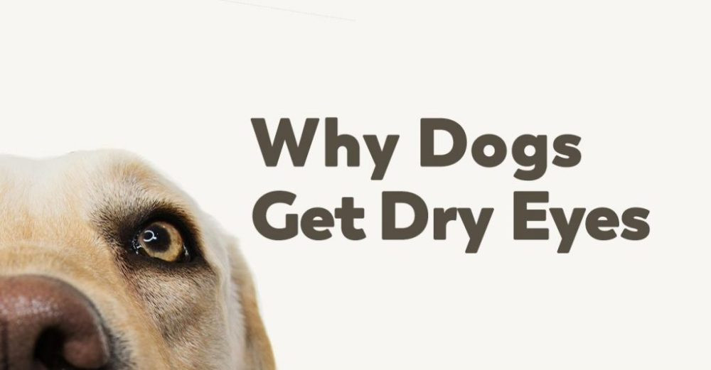 dogs-dry-eyes