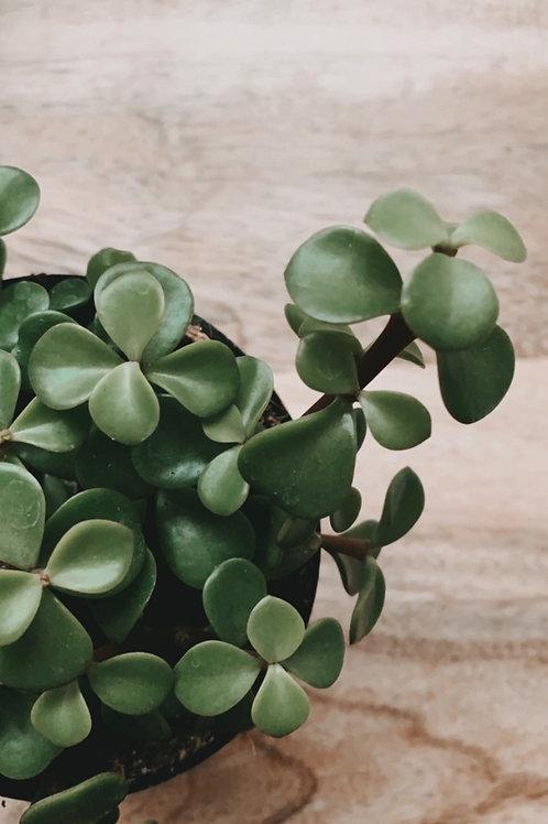 "Jade Plant 4"""