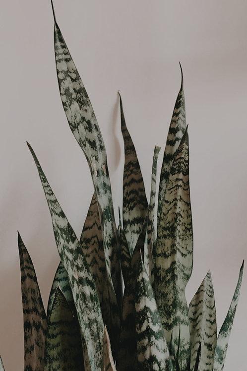 Sanseviere Zeylancia