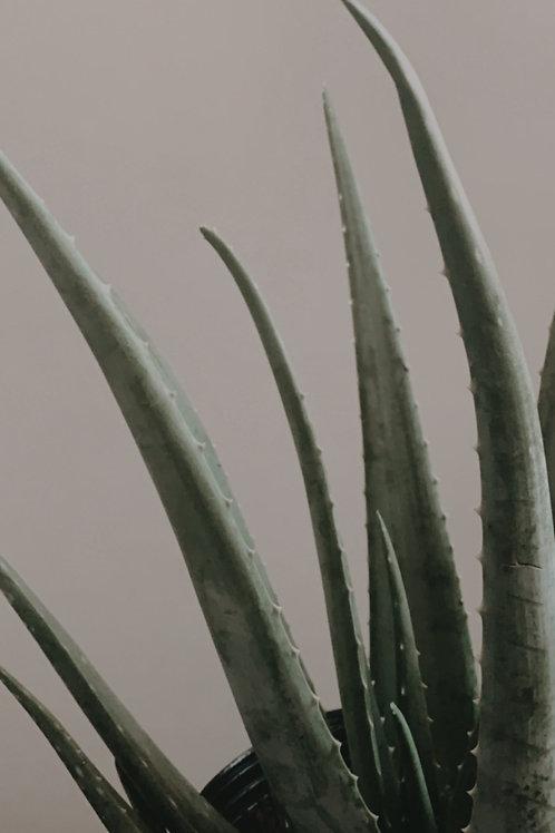 "Aloe Vera 10"""