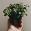 "Thumbnail: Jade Plant 4"""