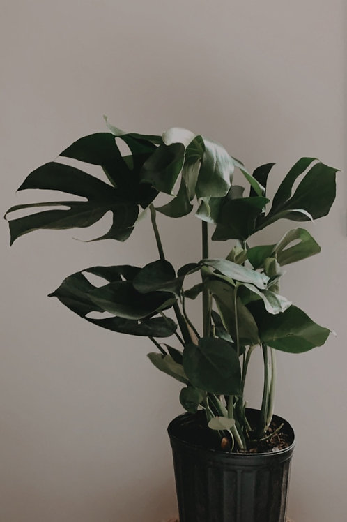 """Philodendron Monstera 10"""""""