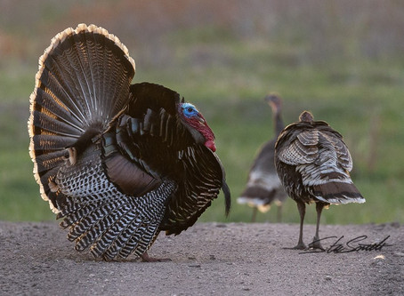 What's that Gobble?
