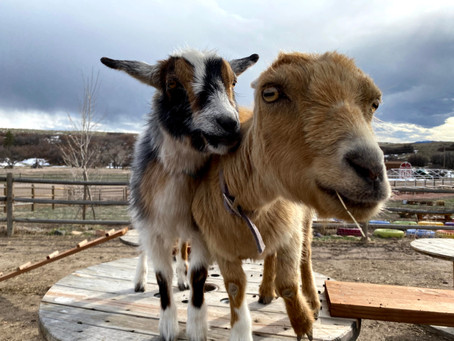 Meet Our Barnyard Animals: The Goats