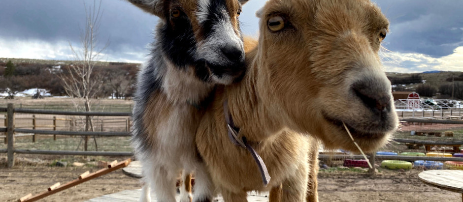 Meet Our Barnyard Animals: The Goats