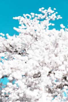 Sakura, Untitled #65 Tsuruoka, Yamagata Prefecture, Japan, 2020