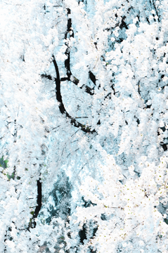 Sakura, Untitled #52 Tsuruoka, Yamagata Prefecture, Japan, 2020