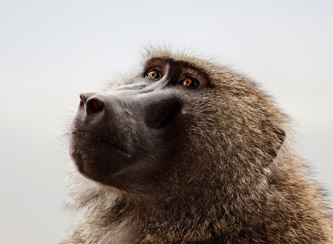 Baboons, Macaques, Marmosets. Primate Experiments performed with Australian taxpayer dollars