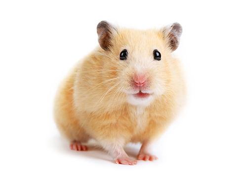 shutterstock_95027665 hamster.jpg