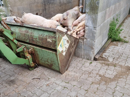Passanten entdecken lebendes Schwein unter einem Haufen von toten Tieren in Düdenbüttel/Stade