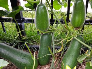 冬季疏菜的储存