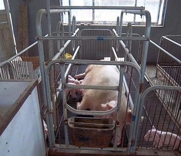 Parideras para Cerdos