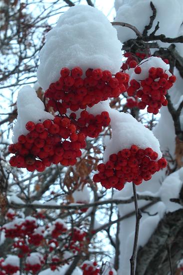 A 6 Card - Rowan Berries.