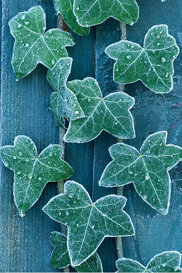 A6 Portrait Card - Frost Edged Ivy.