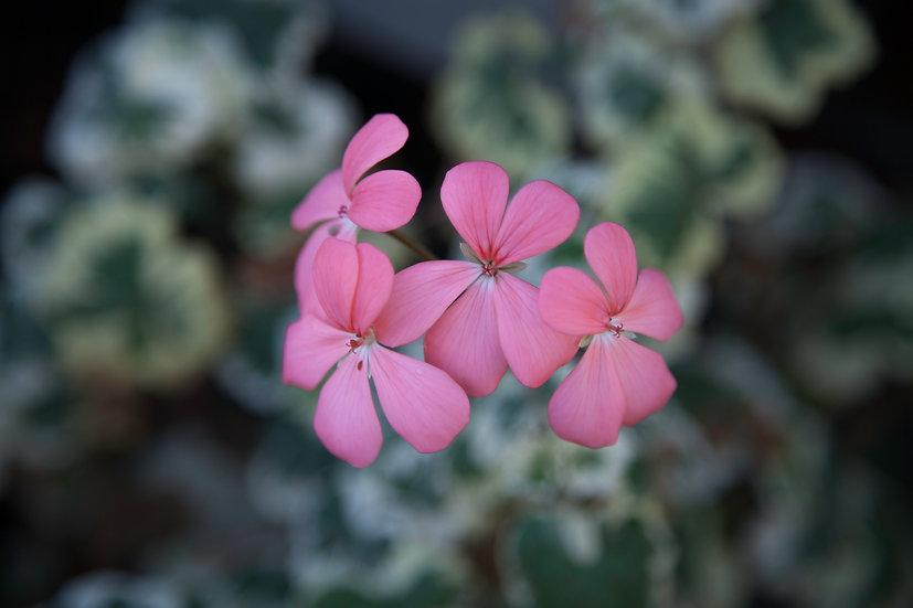 "7 x 5"" Landscape Card - Pink Geranium."