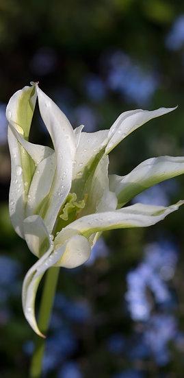"8 x 4"" Card - Lime Green Tulip"