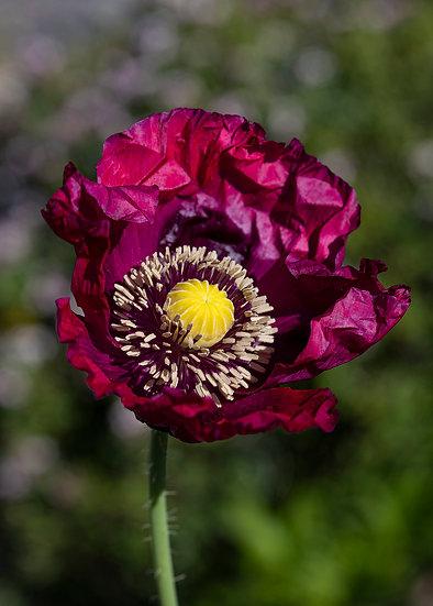 "7 x 5"" Card - Crimson Poppy."