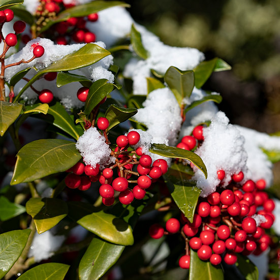 """5"""" Card - Skimmia with Snow."""