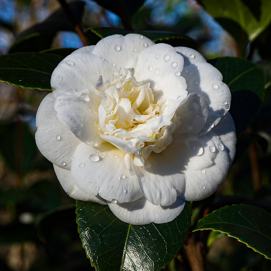 """5"""" Square Card - White Camelia with Raindrops."""