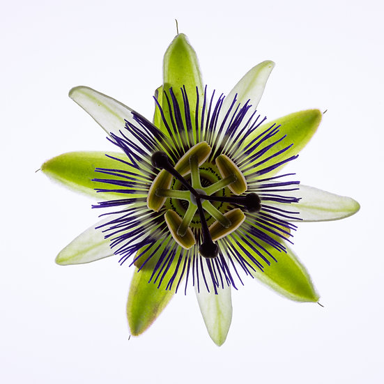 """5"""" Square Card - Passion Flower."""