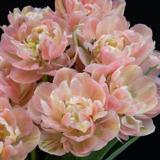 """6"""" Square Card - Pale Pink Tulips."""