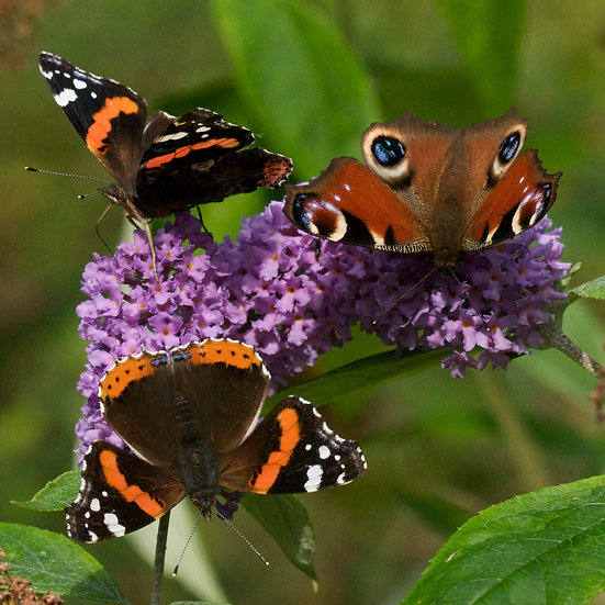 """5"""" Square Card - Three Butterflies on Buddleia."""