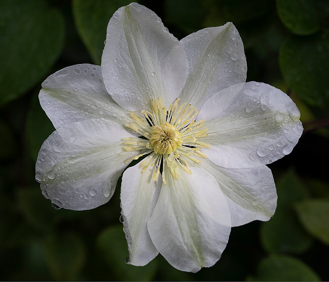 """6"""" Square Card - White Clematis."""