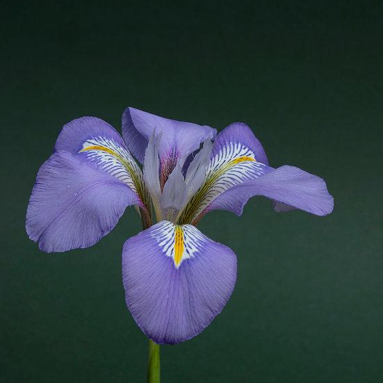 """5"""" Card - Iris Ungulicularis."""
