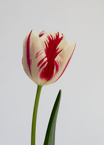 7 x 5 Portrait Card - Rembrandt Tulip light background.