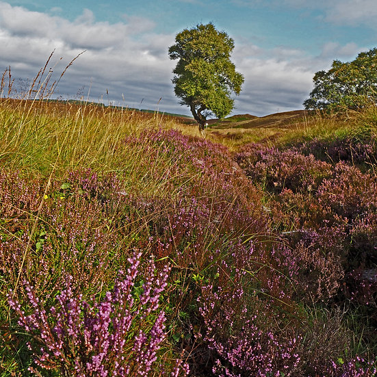"""5"""" Card - Tree and Heather."""