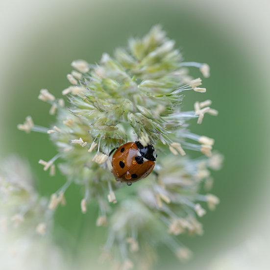 """5"""" Card - Ladybird on Grass"""