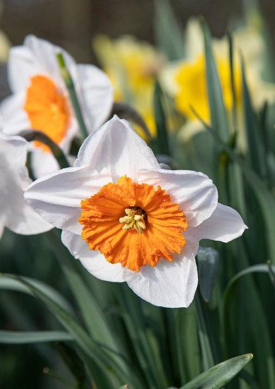 """7 x 5"""" Card - OrangeTrumpet Daffodil."""