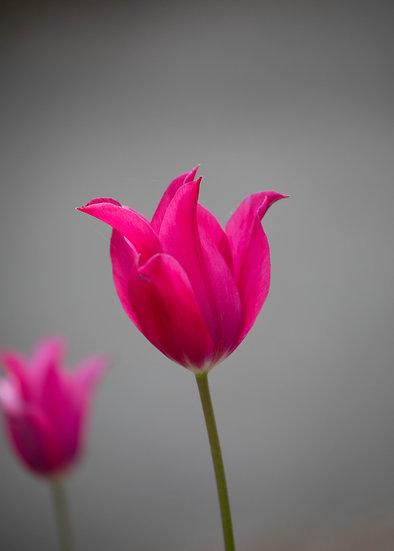 """7 x 5"""" Portrait Card - Cerise Tulip"""