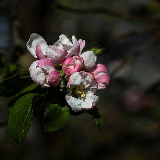 "5"" Square Card - Apple Blossom."