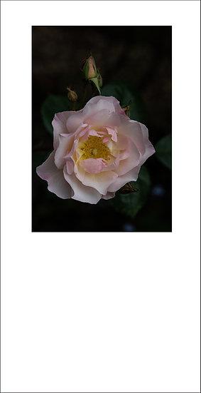 "8 x 4"" Card - Penelope Rose"